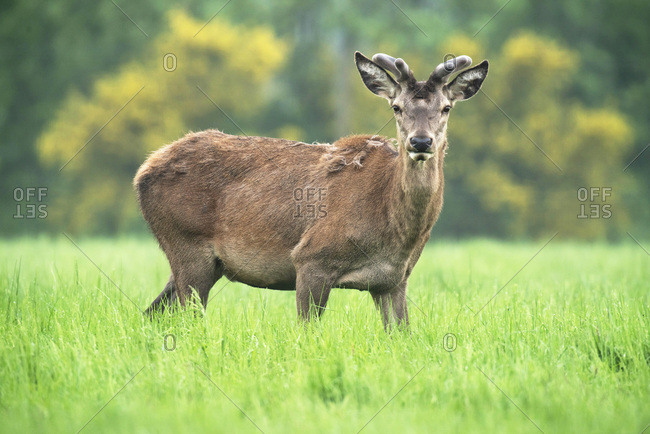 Red deer stag with fresh antlers in springtime meadow.