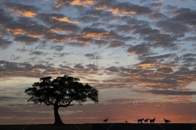 Topis at sunrise, Maasai Mara, Kenya