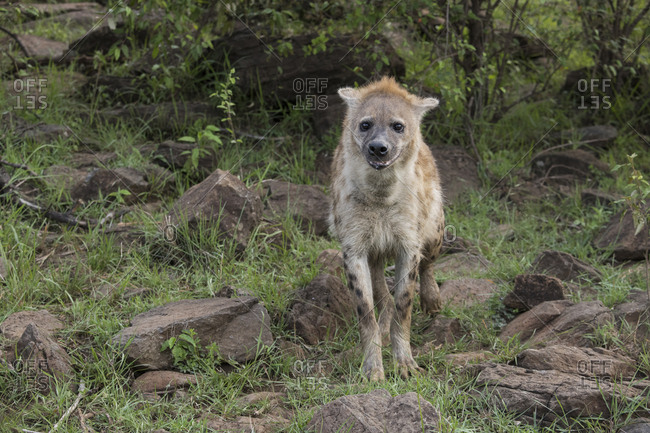 Hyena on the Maasai Mara, Kenya