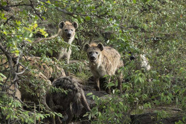 Group of hyenas eating a hippo on the Maasai Mara, Kenya