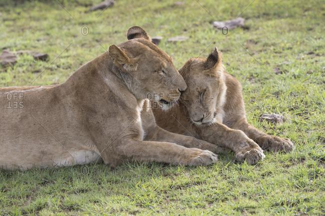 Mother lion with cub, Maasai Mara, Kenya