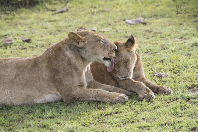 Mother lion licking cub, Maasai Mara, Kenya