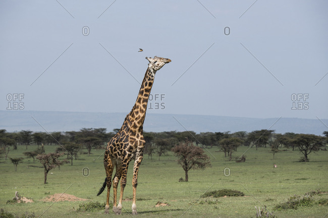 Giraffe on the Maasai Mara, Kenya