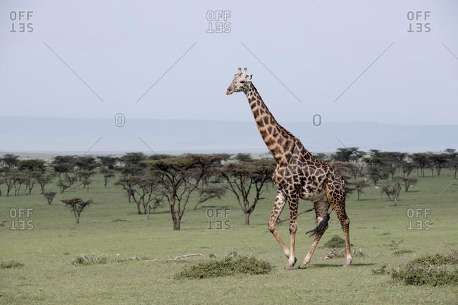 Giraffe walking on the Maasai Mara, Kenya