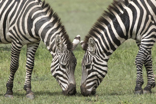 Two zebras grazing on the Maasai Mara, Kenya