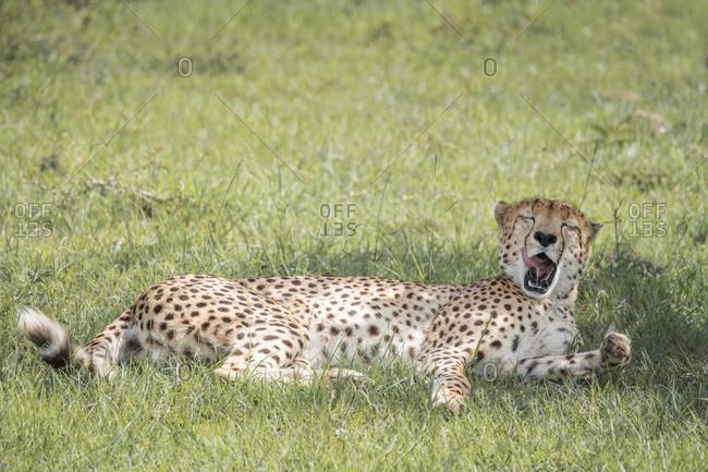 Cheetah yawning, Maasai Mara, Kenya