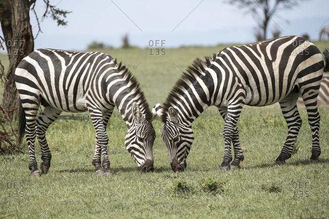 Zebras grazing on the Maasai Mara, Kenya