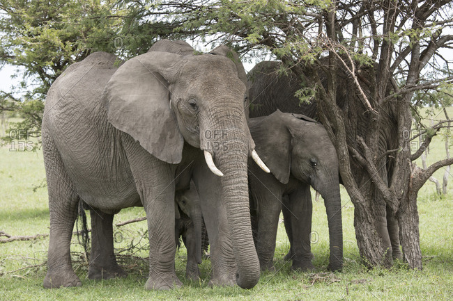 Family of elephants, Maasai Mara, Kenya