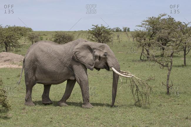 Young elephant carrying tree branch, Maasai Mara, Kenya