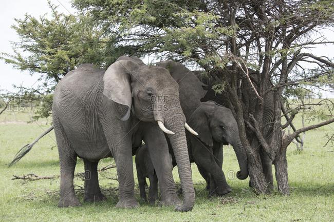 Family of elephants on the Maasai Mara, Kenya