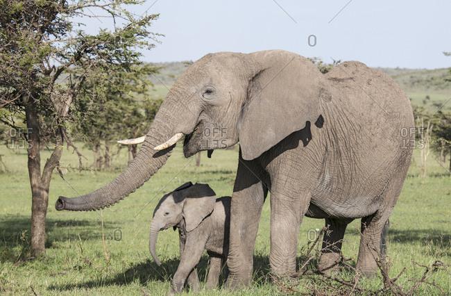 Two elephants on the Maasai Mara, Kenya