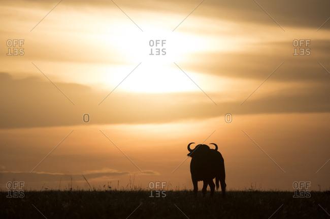 Cape buffalo at sunset on the Maasai Mara, Kenya