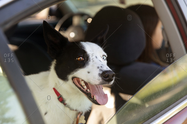 Perky collie enjoying window view in parked car