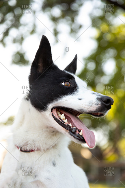 Close-up of panting collie dog looking across yard