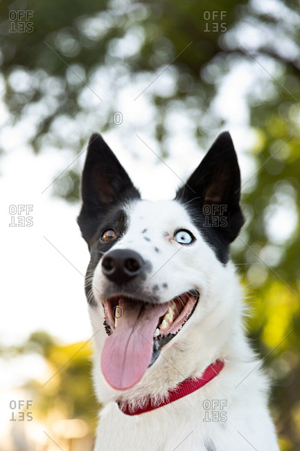 Outdoor headshot of sleek puppy with different colored eyes