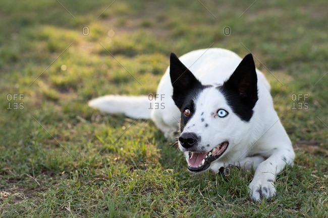 Heterochromatic dog lying on grass in semi-aggressive posture