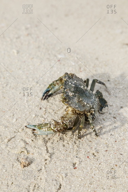 Crab on a beach in Indonesia