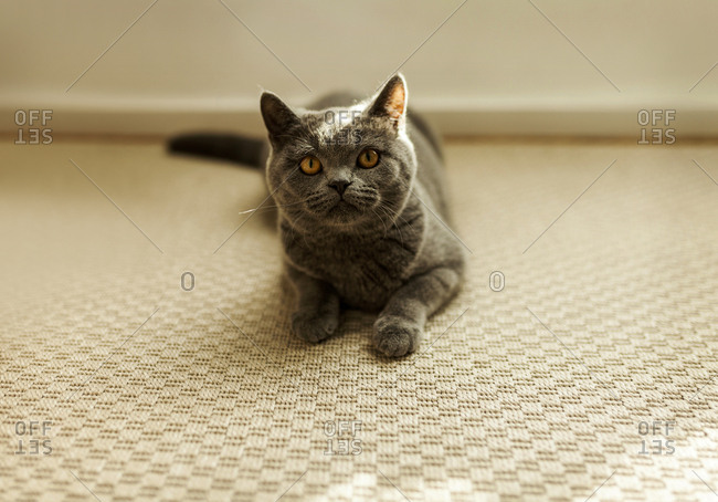 Shorthair cat lying on the carpet