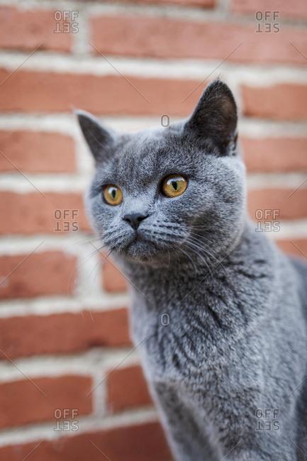 Portrait of a shorthair cat
