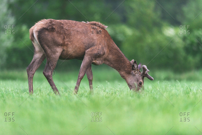 Grazing young red deer stag in fresh spring meadow