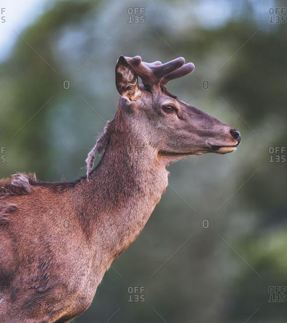 Young red deer buck with growing velvet antler