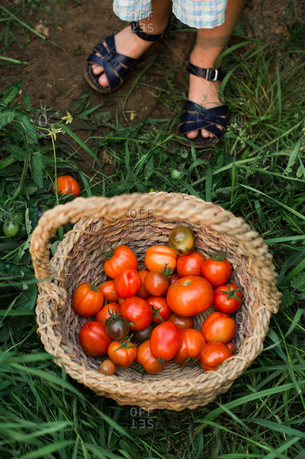 Basket full of tomatoes on ground