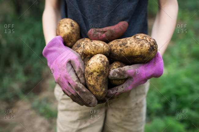 Child holding dirty fresh picked potatoes