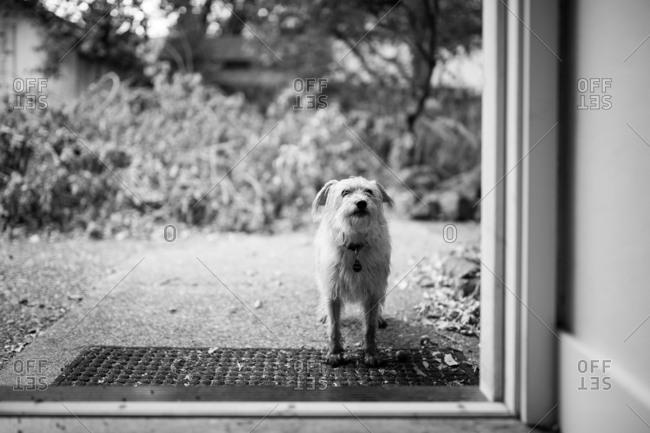 Muddy dog standing in doorway