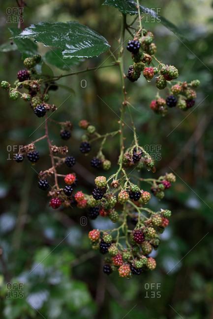 Berries growing on a vine