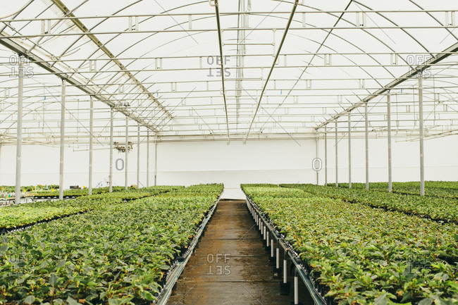 Rows of plants on tables inside greenhouse