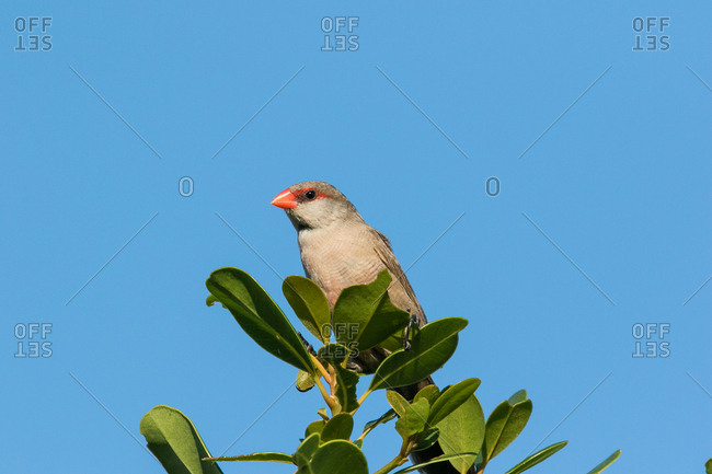 Common waxbill sitting on a milkwood branch
