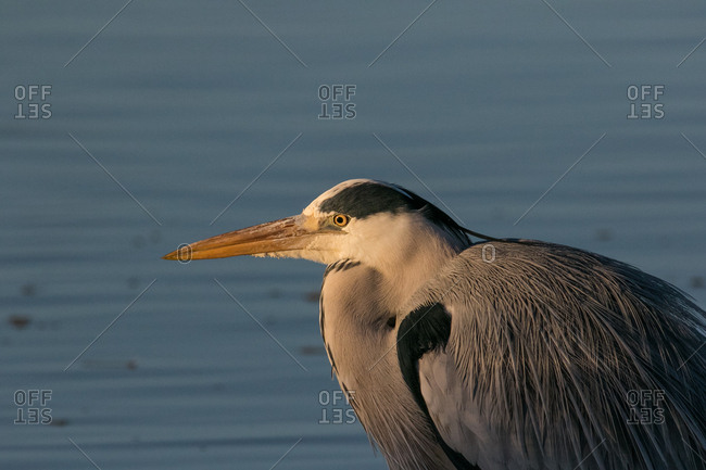 Blue heron feeding in an estuary on the west coast of South Africa