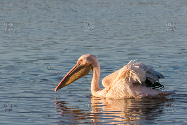 Great white pelican feeding on bait fish in an estuary on the west coast of South Africa