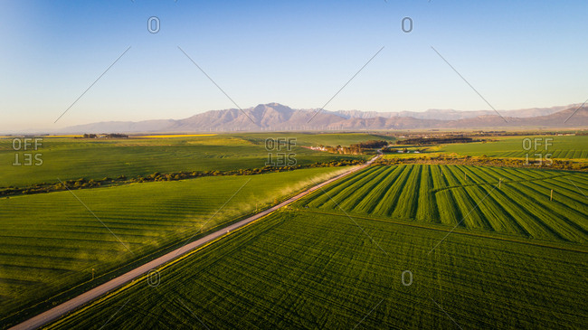 Wide angle drone image of bright green wheat fields in the Swartland region, South Africa