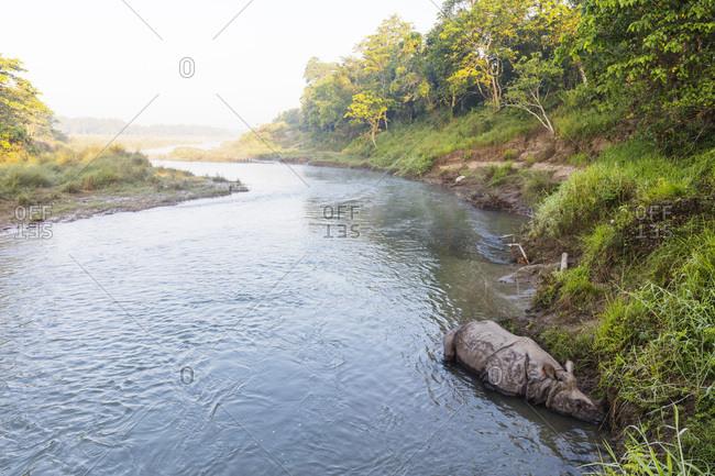 Indian rhinoceros, (Rhinoceros unicornis) sleeping on a river, Chitwan National Park, UNESCO World Heritage Site, Nepal, Asia