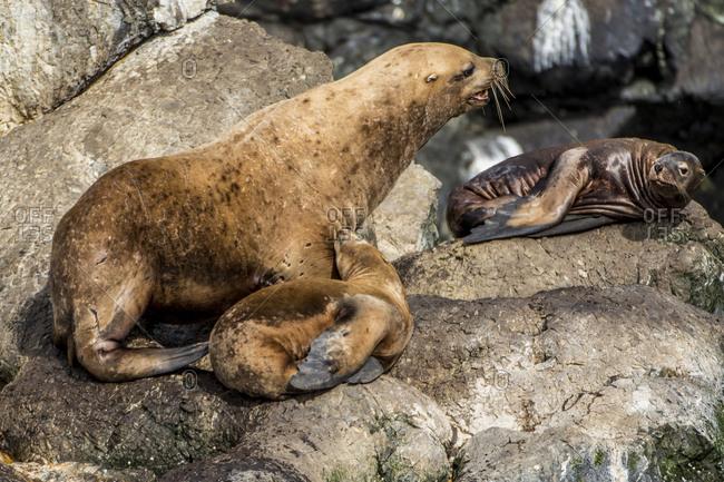 Northern fur seal (Callorhinus ursinus), Resurrection Bay, Kenai Fjords National Park, Alaska, United States of America, North America