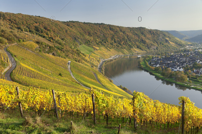 Vineyards in autumn, Loop of Moselle River near Kroev, Rhineland-Palatinate, Germany, Europe