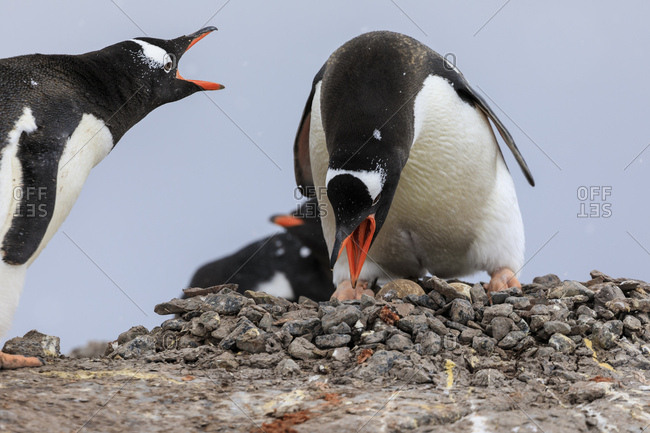 Gentoo penguin (Pygoscelis papua) pair, changing places on nest, Damoy Point, Wiencke Island, Antarctic Peninsula, Antarctica, Polar Regions