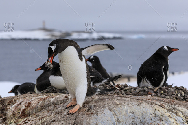 Gentoo penguin (Pygoscelis papua) carries pebble in colony, Damoy Point, Wiencke Island, Antarctic Peninsula, Antarctica, Polar Regions