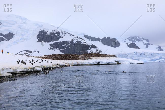 Gentoo penguins (Pygoscelis papua) and expedition tourists on Cuverville Island, Danco Coast, Antarctic Peninsula, Antarctica, Polar Regions