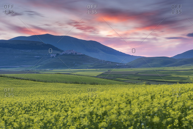 Flowering lentils on the Piano Grande, looking towards Castelluccio di Norcia, sunset, Monte Sibillini, Umbria, Italy, Europe