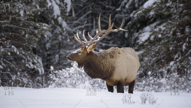 Large Bull Elk (Cervus canadensis) standing in deep snow during winter in Banff National Park, UNESCO World Heritage Site, Alberta, The Rockies, Canada, North America