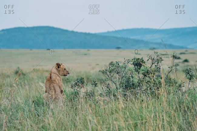 Lion cub at Maasai Mara National Reserve in Kenya