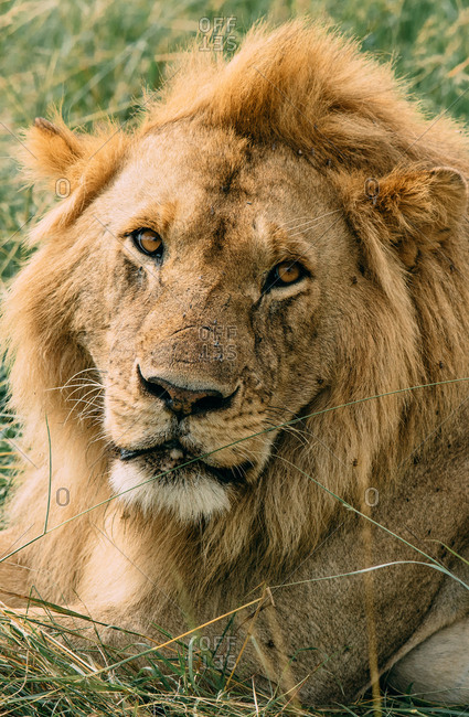 Male lion at Maasai Mara National Reserve in Kenya