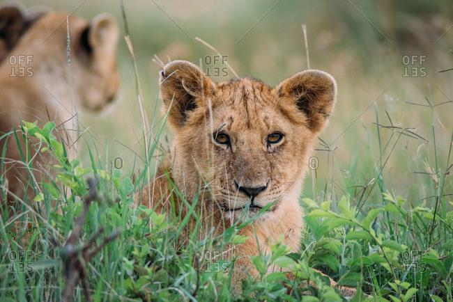 Lion cubs in the African savannah at Maasai Mara National Reserve in Kenya