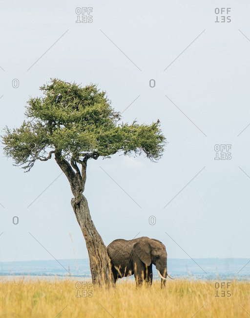 Elephant in the African savannah at Maasai Mara National Reserve in Kenya
