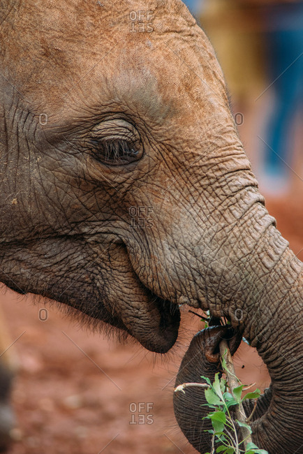 Portrait of a baby elephant eating