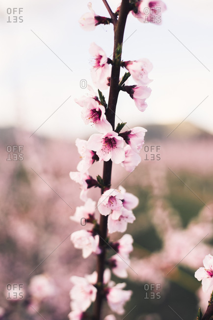 close up of a garden with almond tree and pink blooming beautiful flowers