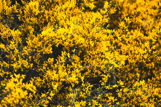 Bright yellow colored blooming flowers on the branches of a bush.