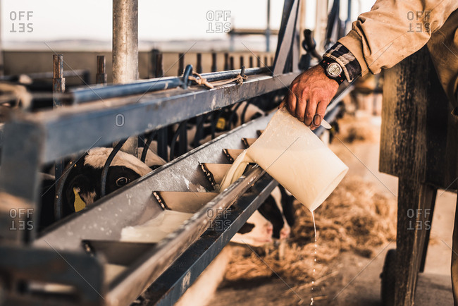 Crop hand of unrecognizable farmer pouring milk to feeding machine on a farm.